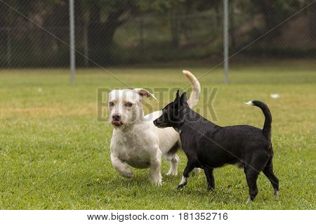 Group Of Terrier Dog Mixes Play