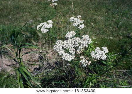Common yarrow (Achillea millefolium) blooms near the shore of a small lake in Joliet, Illinois during June.