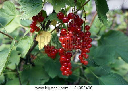 Clusters of red currant fruits dangle on a red currant bush (Ribes rubrum), in a garden in Joliet, Illinois, during July.