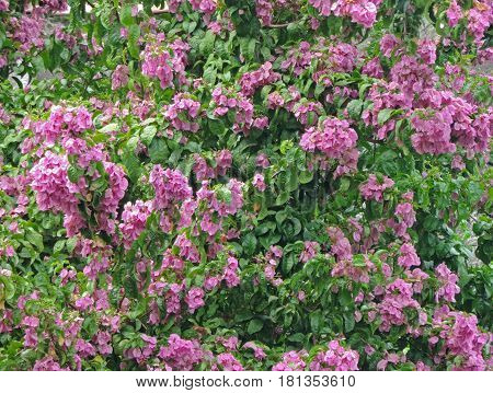 Pink ipe flowers mixed with green leaves