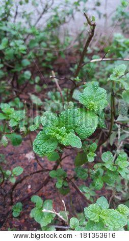 The mint leaves in a market garden