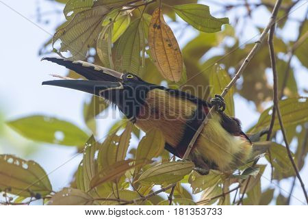 Collared Aracari in the trees in Tortuguero National Park in Costa Rica
