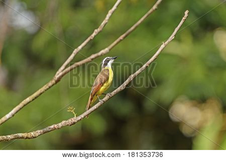 Great Kiskadee in the Forest of Tortuguero National Park in Costa Rica