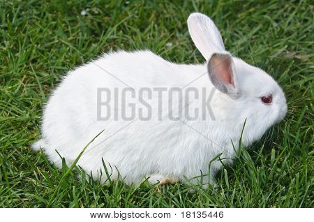 Side View Of White Bunny