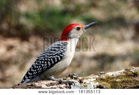 Close-up of a red-bellied woodpecker sitting on a tree branch, with a blurred background.