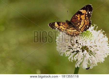 An orange and black silvery checkerspot butterfly sits, with wings spread, on a white wildflower, on a blurred green background with room for text.
