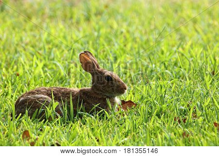 Brown bunny rabbit lying in green grass on a sunny day.