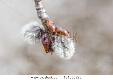 Early spring bud soft shaggy and white coming forth from its red brown pod on the end of a tree branch