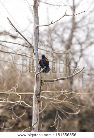 Red wing black bird chirps loudly calling out in early spring to his mate