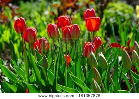 Bright spring tulips on a flower bed in a park.