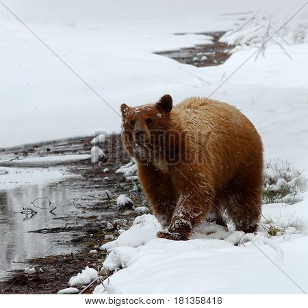 Black Bear in the Sierra Nevada Mountains in the Winter