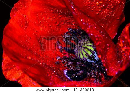 Red Poppy (Papaver rhoeas) close-up against a black background