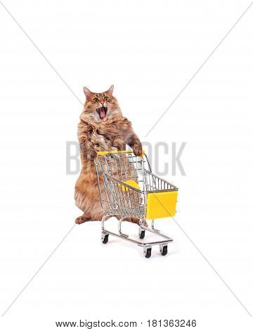 The Big Shaggy Cat With Shopping Cart Isolated On White..number 10
