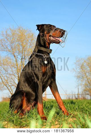 Brown doberman dog with muzzle sitting in grass.