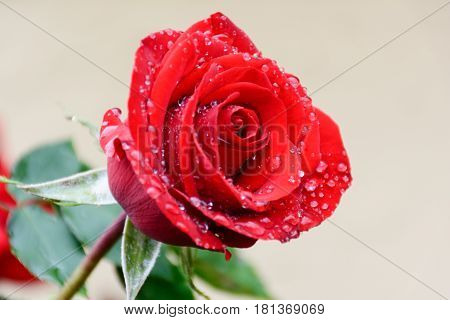 Red Rose With Rain Drops After Rain