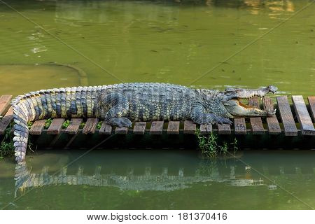 Close up of  crocodile in zoo at Thailand