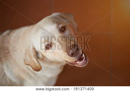 Labrador Dog Looking Up