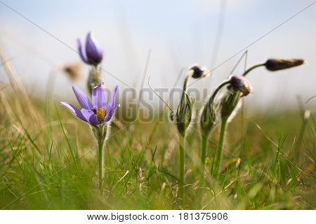 Blooming And Faded Blossom Of Purple Pasque-flower