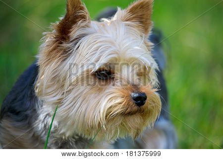 Cute small yorkshire terrier portrait on a green lawn outdoor