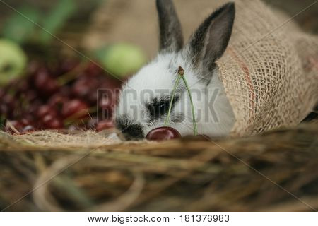 Cute rabbit small easter bunny domestic pet with long ears and fluffy fur coat lying with red cherry berries in sackcloth on natural hay on blurred background