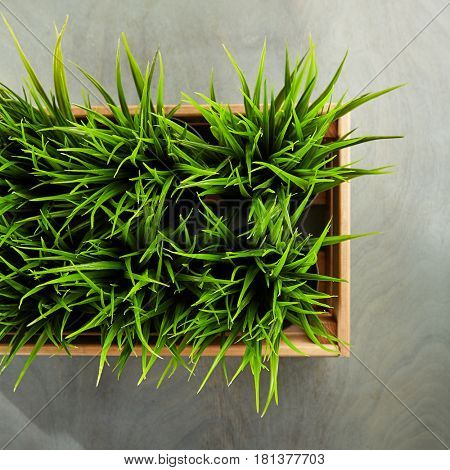 Potted Grass Flower in Wooden Box on Grey Wood Background
