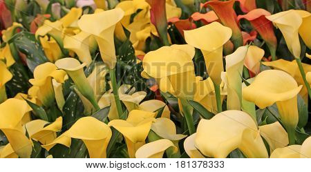 many colored blossomed in spring calla flowers for sale