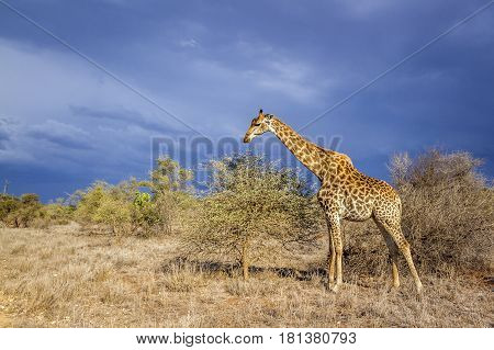 Giraffe in Kruger national park, South Africa ; Specie Giraffa camelopardalis family of Giraffidae