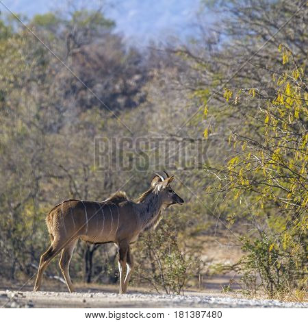 Greater kudu in Kruger national park, South Africa ; Specie Tragelaphus strepsiceros family of Bovidae