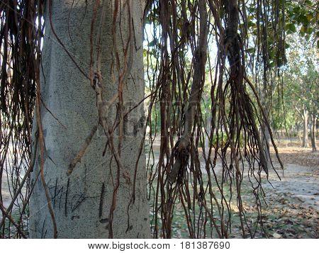 Close up of branches of big banyan tree