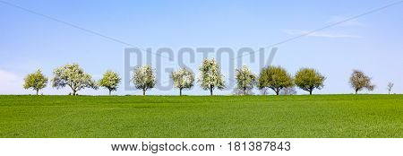 Blooming Trees In A Row At The Horizon