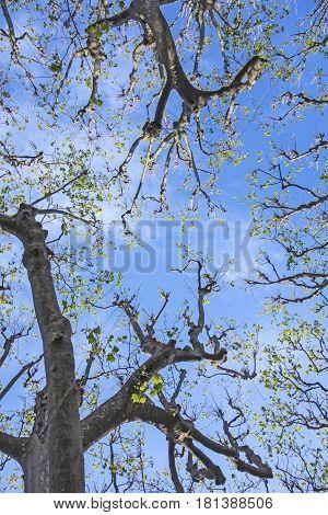 Trees Against Blue Sky In Spring ²