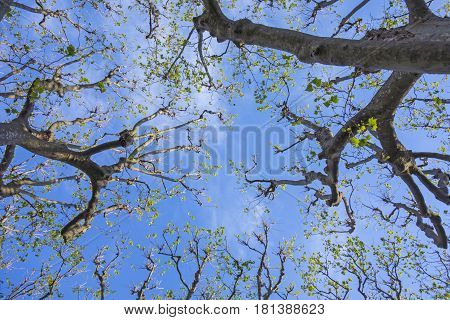 Trees Against Blue Sky In Spring ²