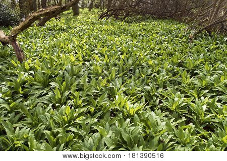 Wild garlic in a Danish forest. Ramsons all over.