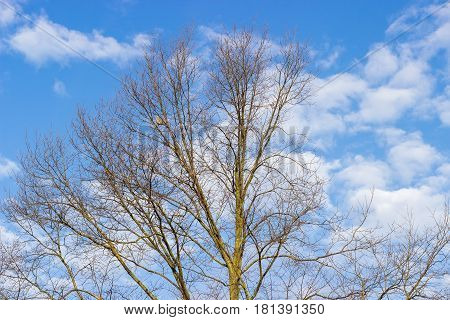 Top of the deciduous tree with unblown leaves and bird sitting on a branch on a background of the sky with clouds in early spring