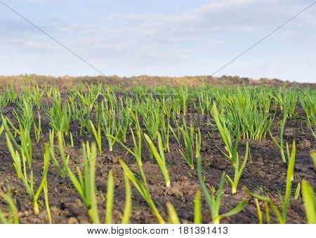 Young plants of the garlic on the vegetable garden closeup on the background of the sky