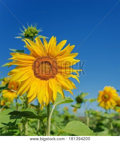Bright yellow flower of sunflower in a field on the background of clear blue sky close-up