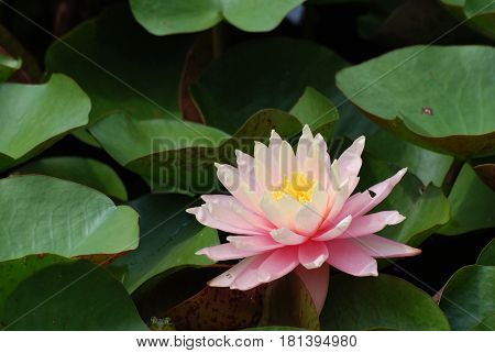 Flowering pink water lily with lily pads in a water garden.