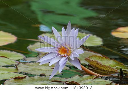 Pretty flowering lavender water lily with lily pads in a pond.