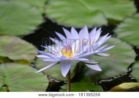 Water garden with purple water lilies flowering.