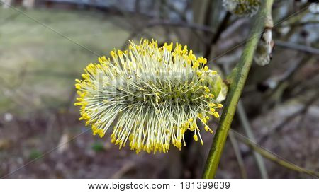 Goat Willow or Pussy Willow - Salix caprea Male Catkin