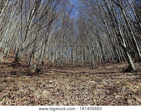 Beech Forest in spring , beech ,