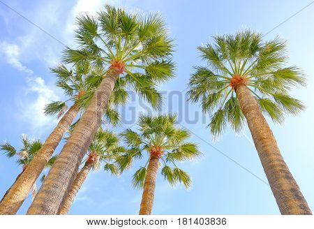 seen from below a goup of palm trees against a blue sky