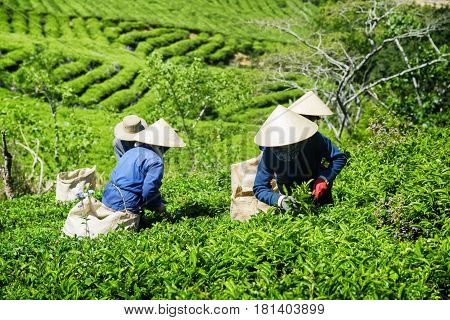 Tea Pickers Working On Plantation. Workers In Traditional Hats