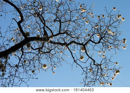 Silhouette of black branch of cotton tree on blue sky background horizontal view
