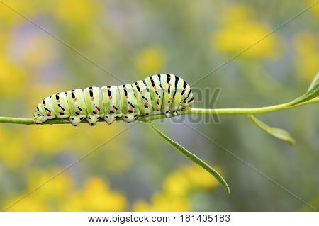 A macro shot of a caterpillar (swallowtail butterfly larva) walking along a plant stem.