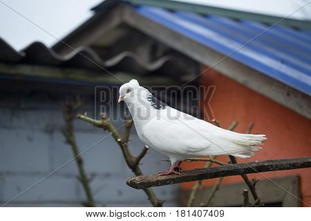 Pigeon Sitting On The Alpine Trough The Forest