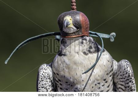 Leather falconry hood on a peregrine falcon (Falco peregrinus). Close up against blurred background