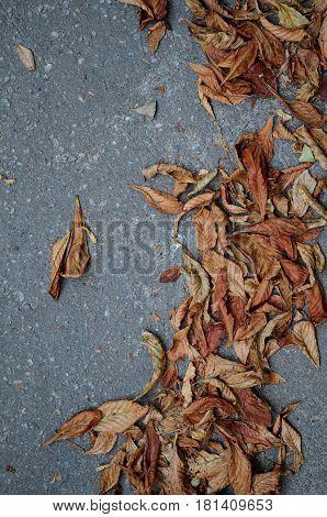 Fallen chestnum autumn leaves on background of gray asphalt road
