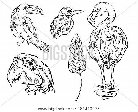 Hand drawn vector graphic lined illustrations set of tropical birds toucanparrot macawflamingo and kingfisher.Tropical birds isolated on white.Exotic tropical bird of paradise collection set.