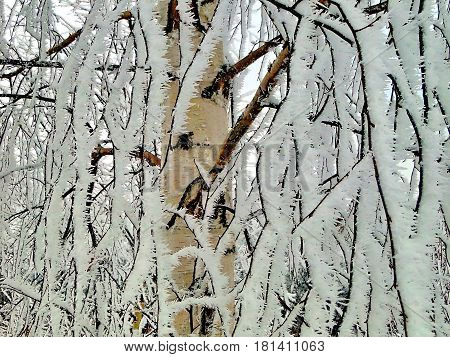 Closeup birch branches heavily covered with fresh  hoarfrost. In the morning frost, humidity. Miracle nature. Ural, Russia